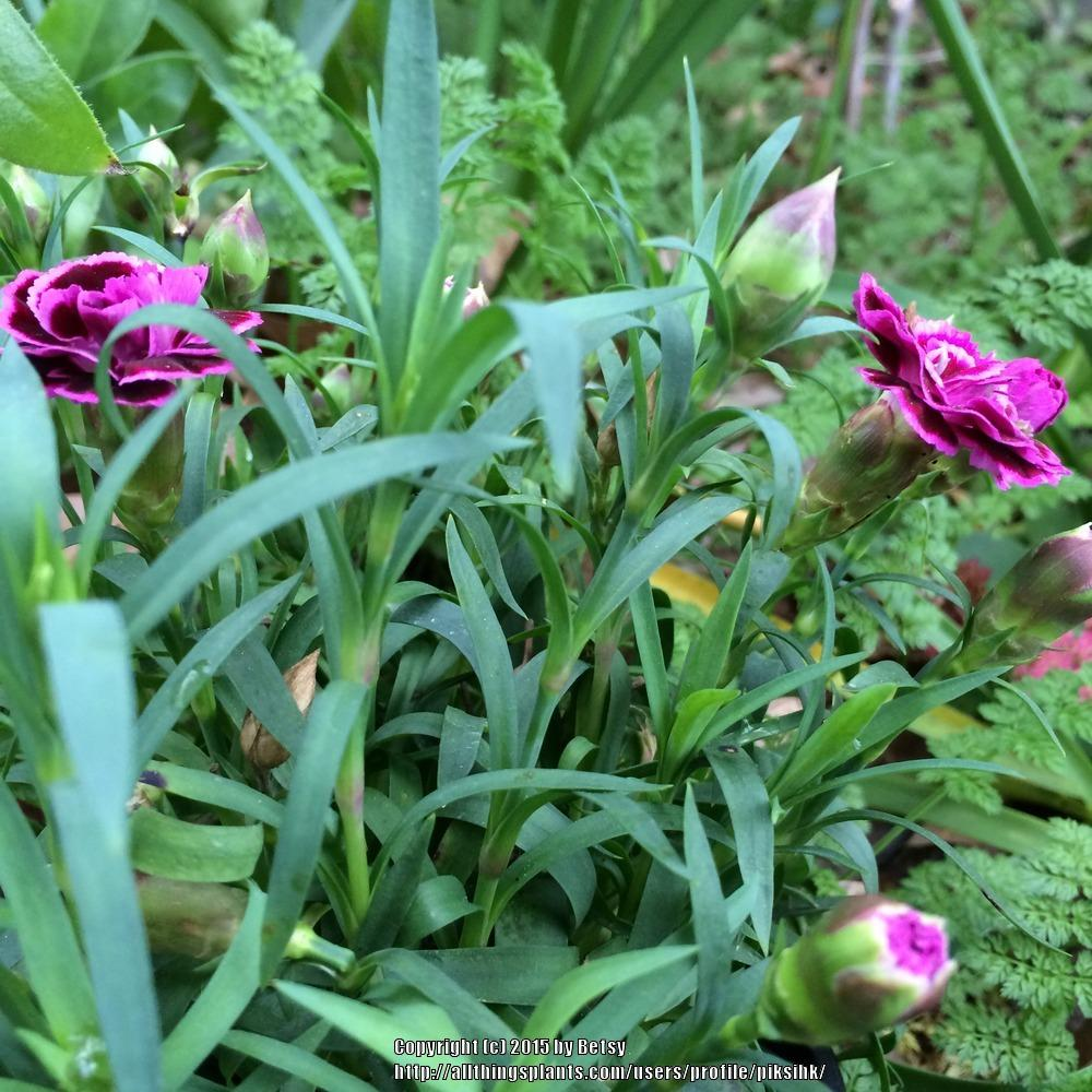 Photo of Dianthus uploaded by piksihk
