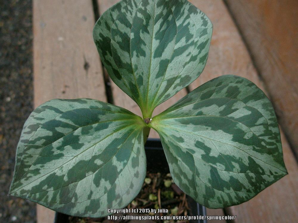 Photo of Toadshade (Trillium sessile) uploaded by springcolor