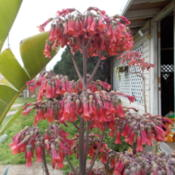 Location: Blondmyk's Backyard, Corpus Christi, TXDate: 2015-03-15Sample of what Kalanchoe Delagoensis looks like when gr