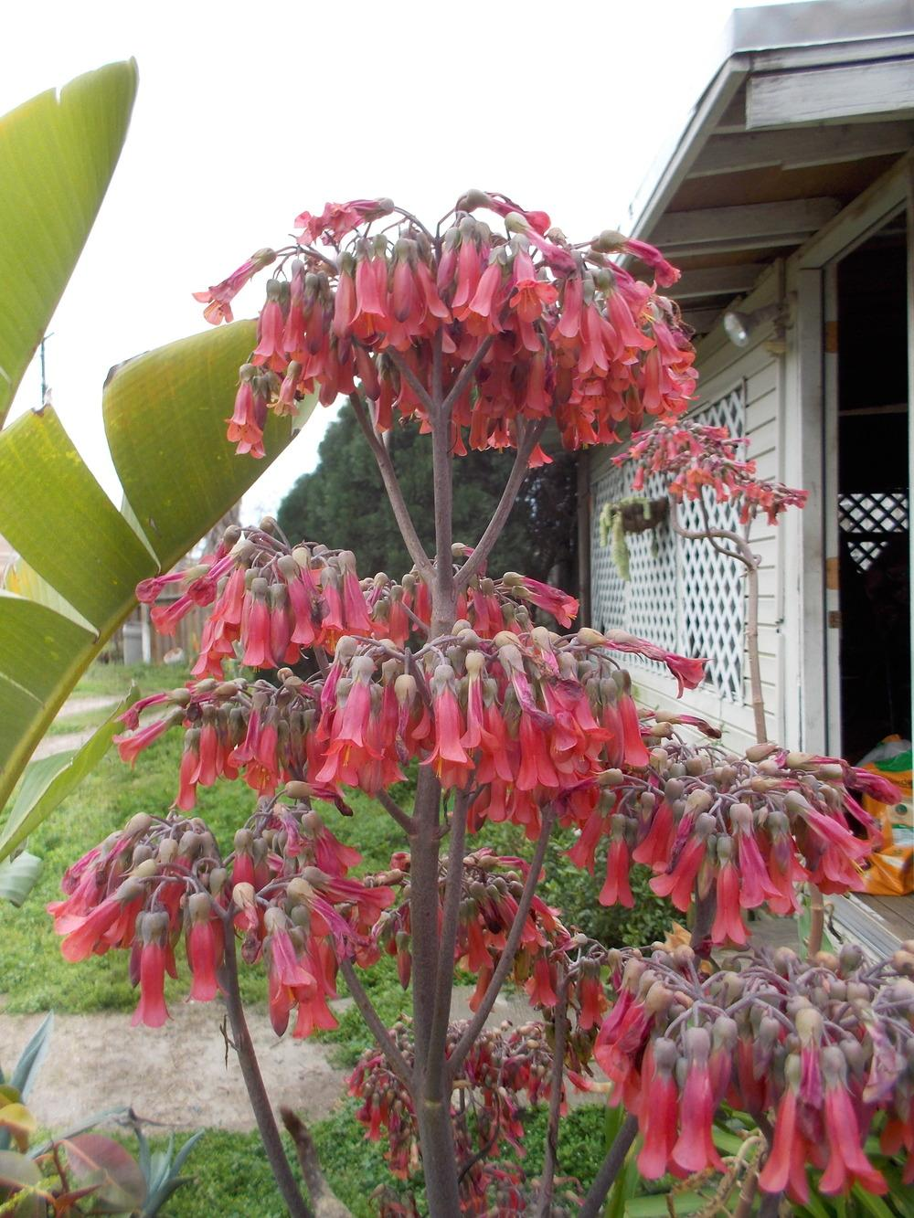 Chandelier plant kalanchoe delagoensis in the kalanchoes location blondmyks backyard corpus christi txdate 2015 03 15sample of mozeypictures Gallery