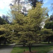 Location: Capitol Park, Sacramento CA. Zone 9bDate: 2015-03-14This mature tree is loaded with fresh blooms that have a yellow t