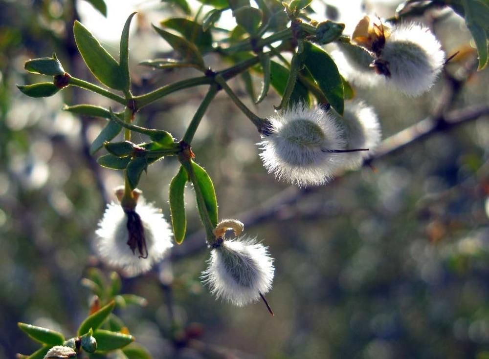 Photo of Creosote Bush (Larrea tridentata) uploaded by admin