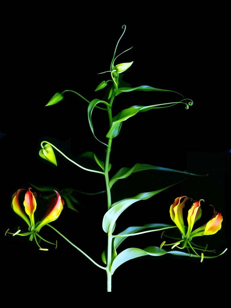 Photo of Gloriosa Lily (Gloriosa superba) uploaded by admin