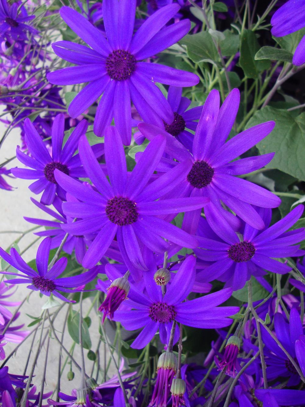 Photo of Florist's Cineraria (Pericallis Senetti® Blue) uploaded by Paul2032