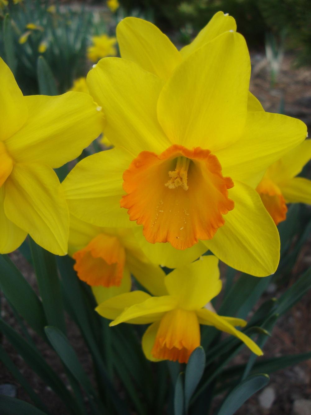 Photo of Daffodils (Narcissus) uploaded by Paul2032