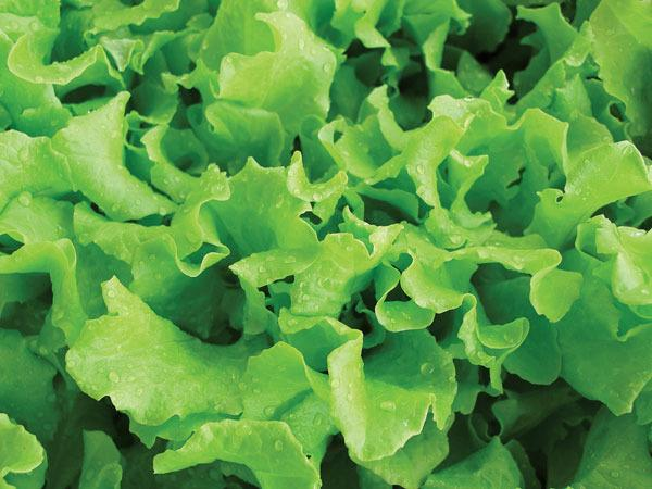 Photo of Lettuce (Lactuca sativa 'Black-Seeded Simpson') uploaded by Joy
