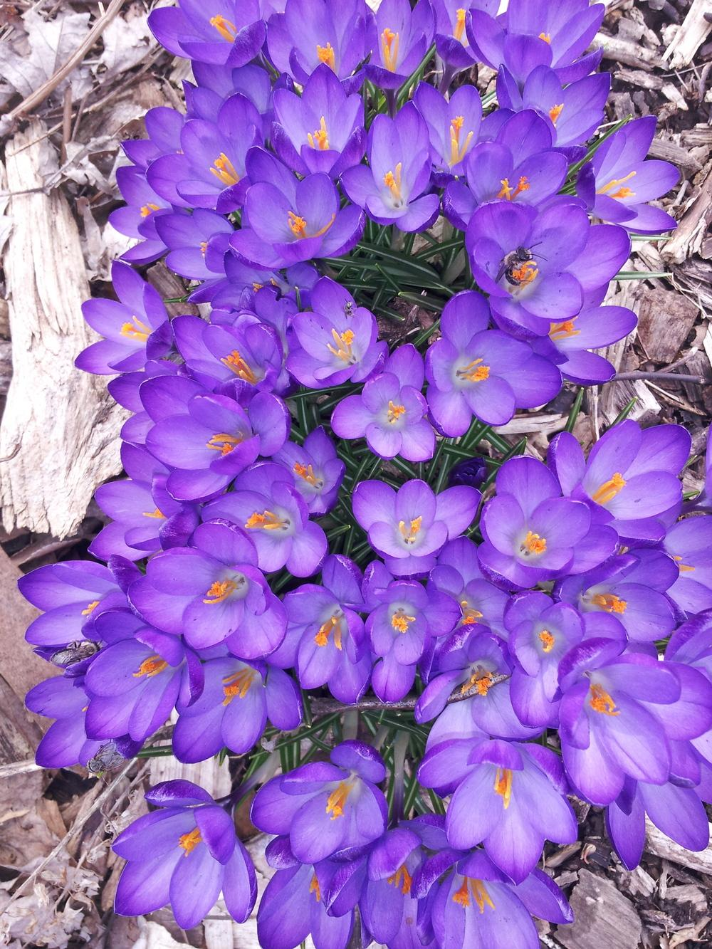 Photo of Snow Crocus (Crocus tommasinianus 'Ruby Giant') uploaded by gemini_sage
