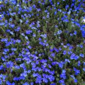 Location: Historic City Cemetery, Sacramento CA.Date: 2015-03-17Lithodora (Glandora prostrata 'Grace Ward') in sone 9b.