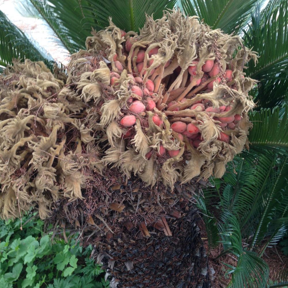 Photo of Sago Palm (Cycas revoluta) uploaded by HamiltonSquare