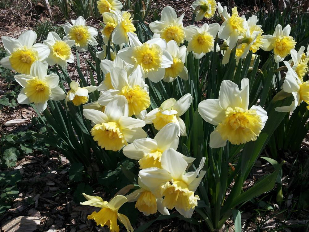 Photo of Double Daffodil (Narcissus 'Ice King') uploaded by gemini_sage