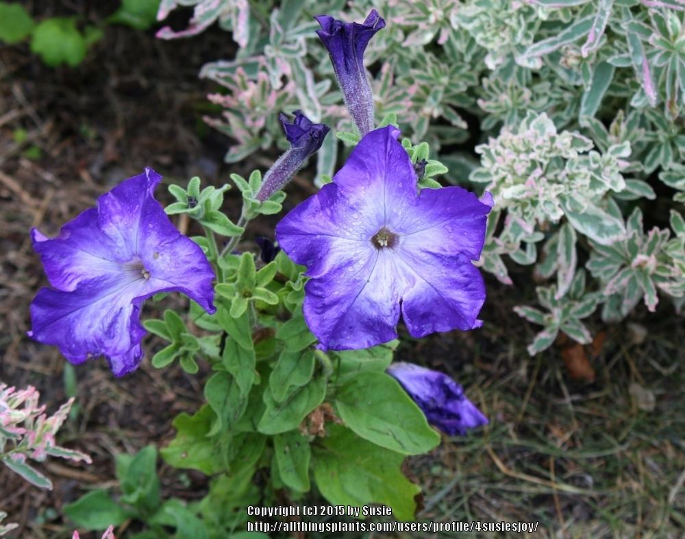 Photo of Grandiflora Petunia (Petunia Sophistica® Blue Morn) uploaded by 4susiesjoy