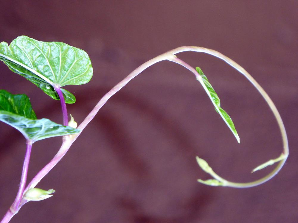 Photo of Moonflower (Ipomoea alba) uploaded by JulieB