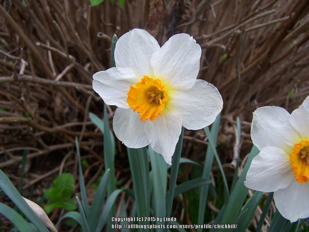Photo of Daffodils (Narcissus) uploaded by chickhill