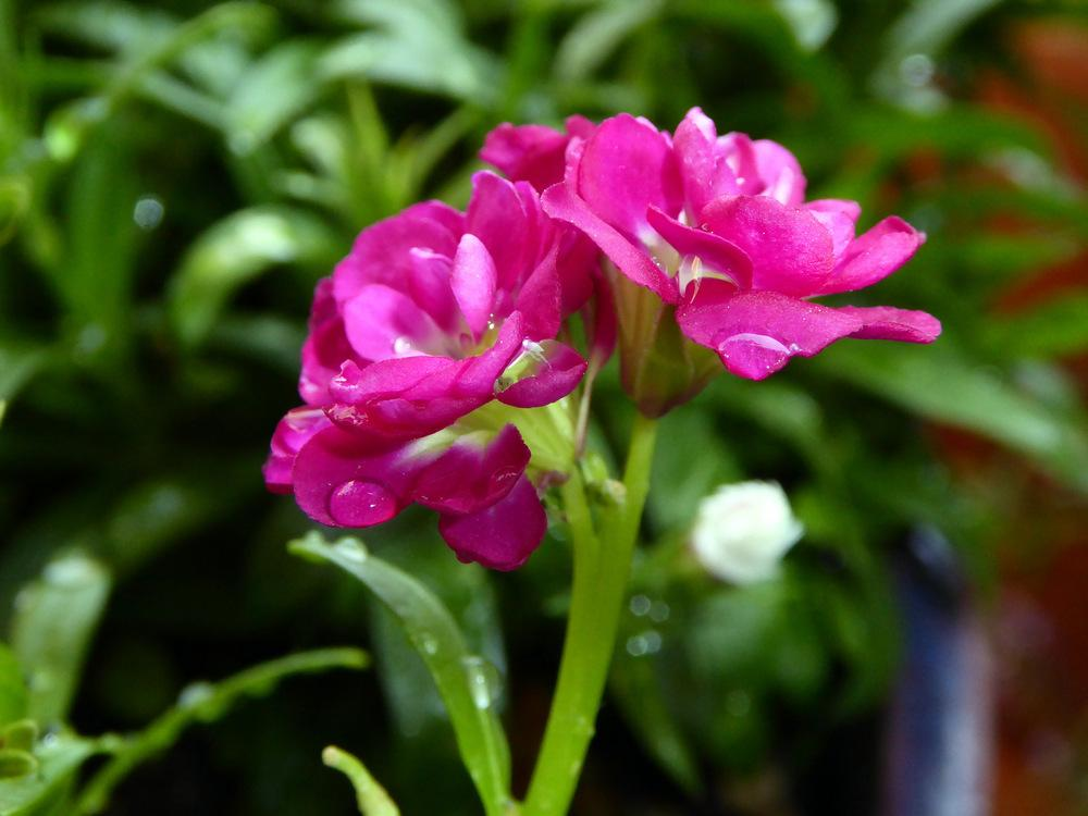 Photo of Stock (Matthiola incana) uploaded by JulieB