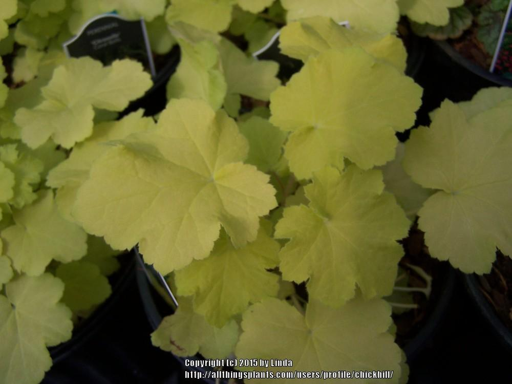 Photo of Coral Bells (Heuchera villosa 'Citronelle') uploaded by chickhill