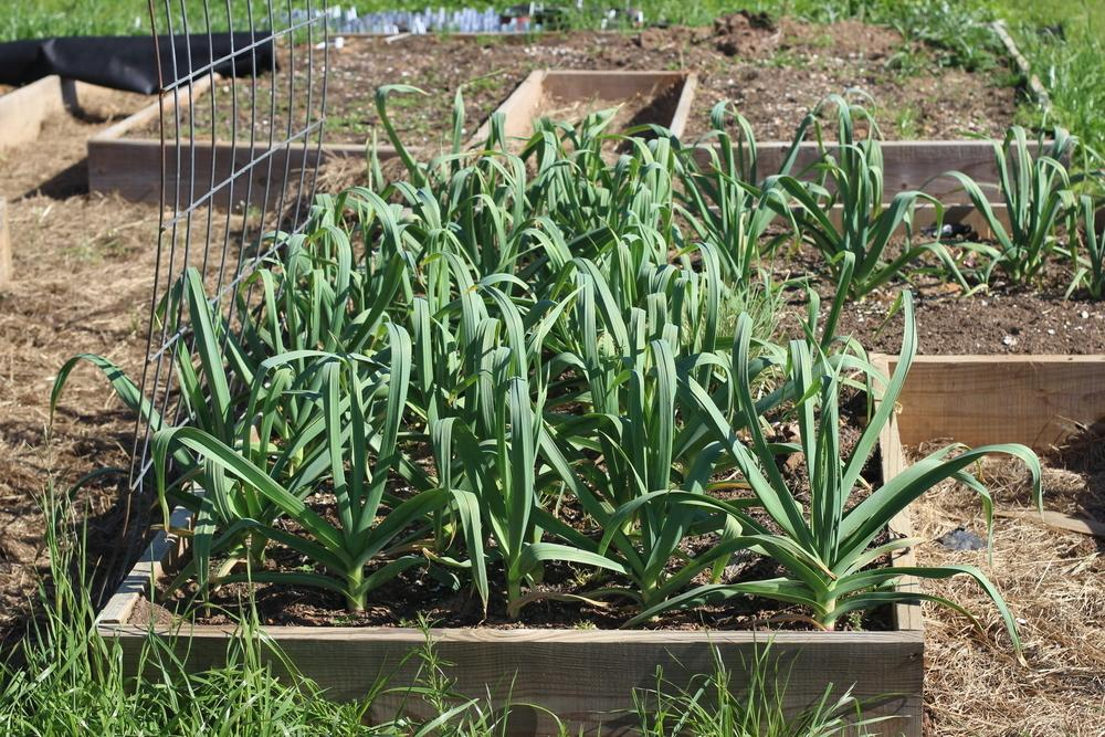 garlic plant care and collection of varieties