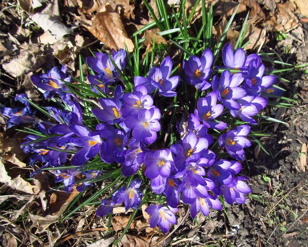 Photo of Crocus uploaded by jmorth