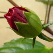Location: Colima, Colima Mexico (Zone 11)Date: 2015-04-01Tropical Hibiscus (Hibiscus rosa-sinensis) bud