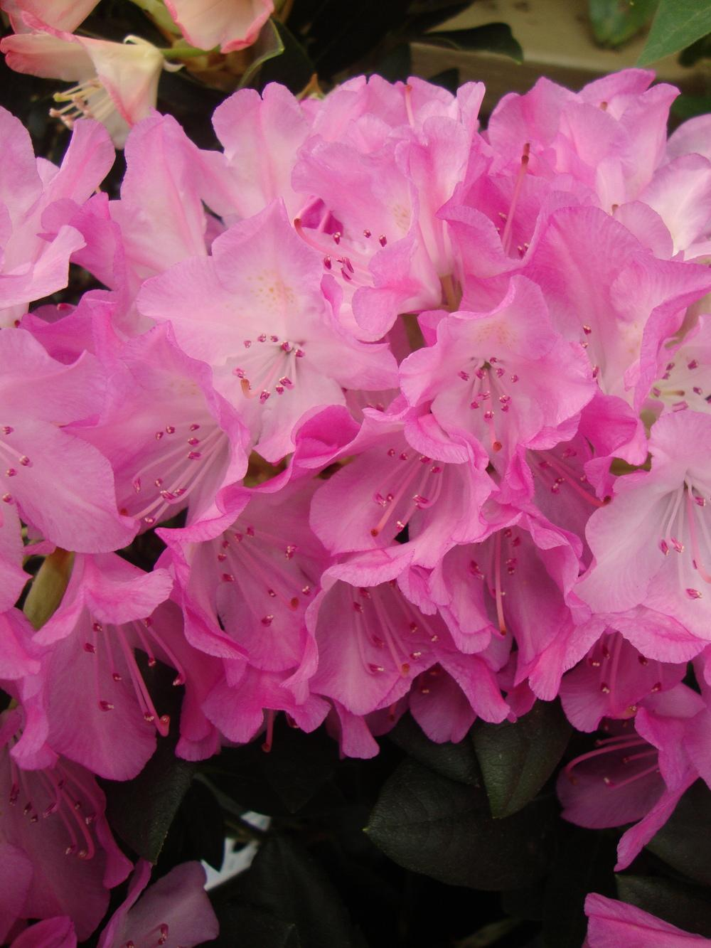 Photo of Rhododendron 'Roseum Elegans' uploaded by Paul2032
