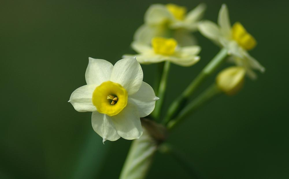 Photo of Tazetta Daffodil (Narcissus 'Minnow') uploaded by dirtdorphins