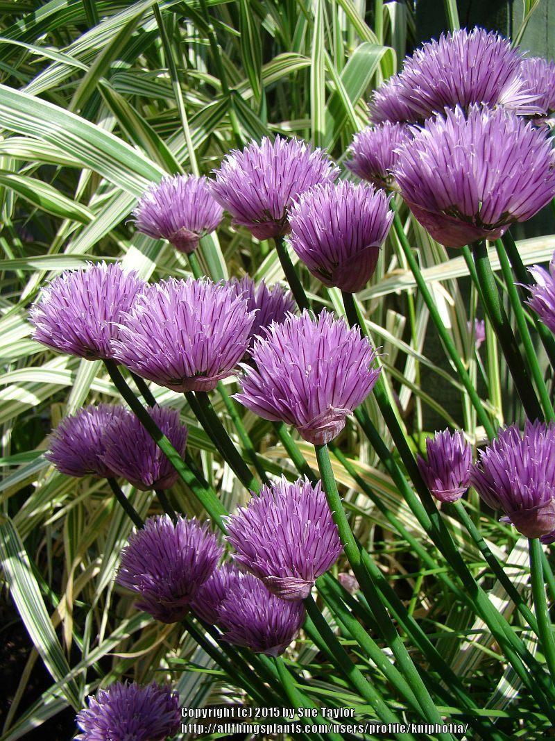 Photo of Chives (Allium schoenoprasum) uploaded by kniphofia