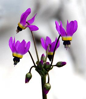 Photo of Lowland Shooting Star (Dodecatheon clevelandii) uploaded by Calif_Sue