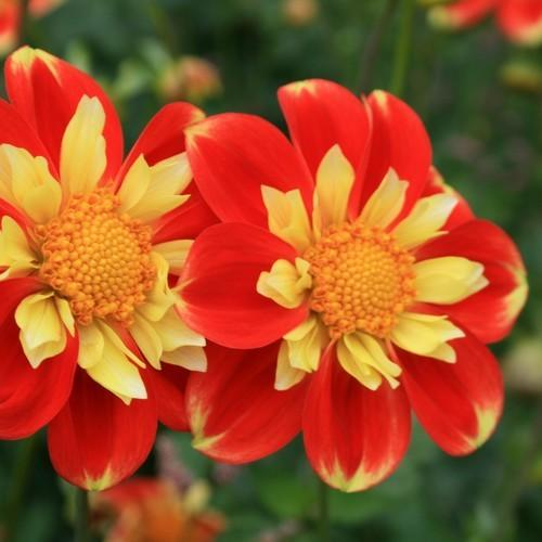 Photo of Collarette Dahlia (Dahlia 'Pooh') uploaded by Joy