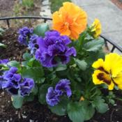 Location: My garden, central NJ, Zone 7ADate: 4/5/15Ruffled Pansies