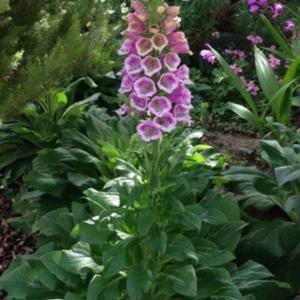 Note the upward facing flowers of this cultivar. Foxglove (Digita