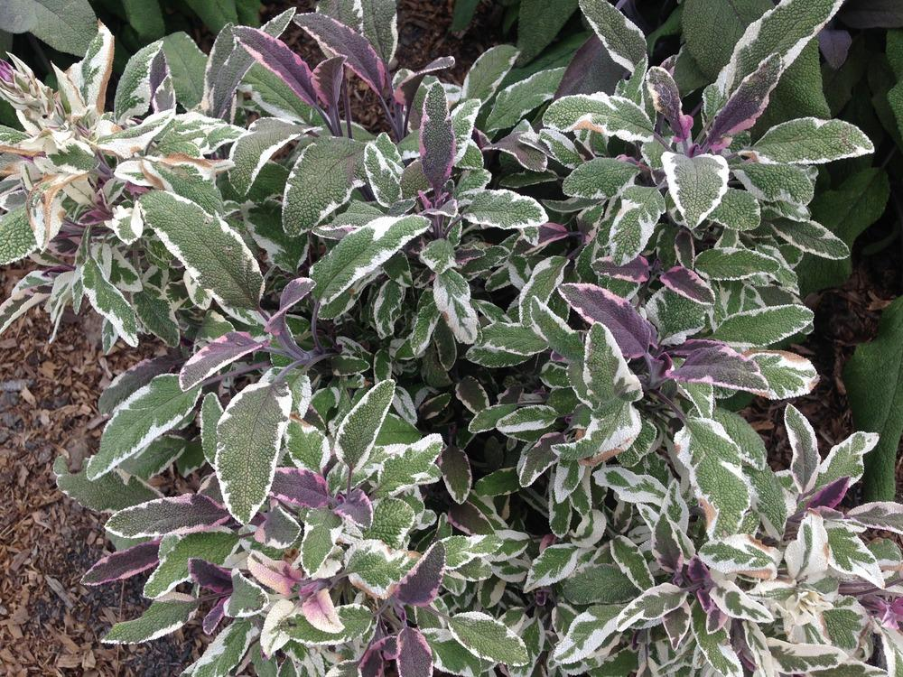 Culinary Sages: Plant Care and Collection of Varieties - Garden org