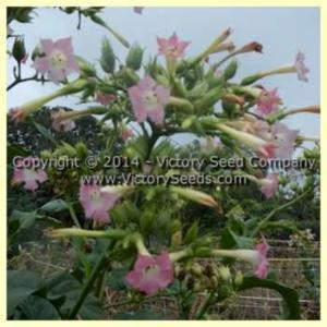 Tobacco (Nicotiana tabacum 'Yellow Mammoth') in the