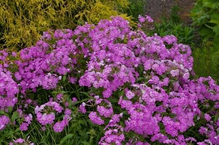 Photo of Smooth Phlox (Phlox glaberrima 'Morris Berd') uploaded by Calif_Sue