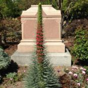 "Location: Hamilton Square Perennial Garden, Historic City Cemetery, Sacramento CA.Date: 2015-04-08Six feet/1.8m tall ""Tower of Jewels"" in Zone 9b."