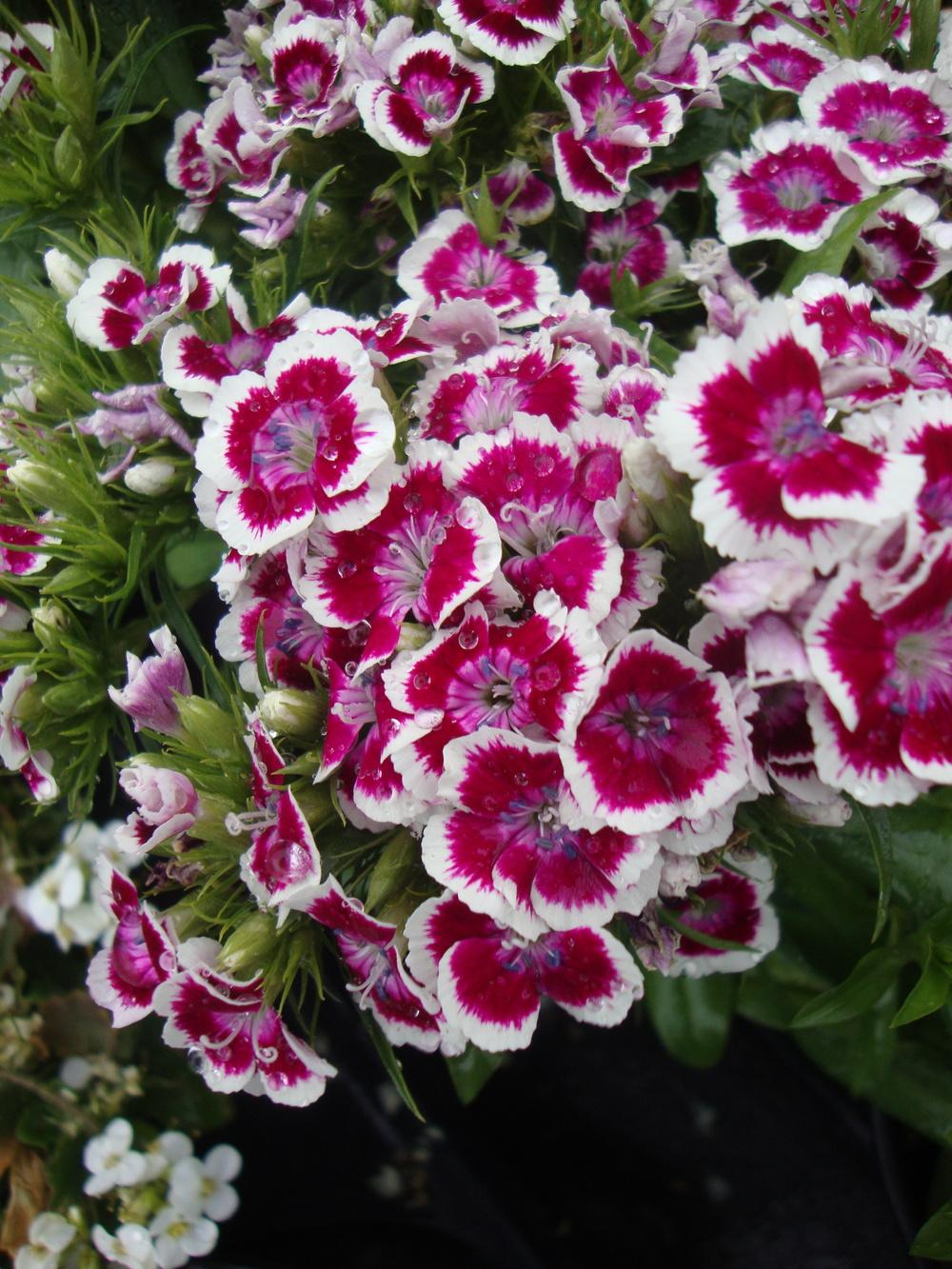 Photo of Sweet William (Dianthus barbatus) uploaded by Paul2032
