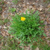 Location: zone 8 Lake City, Fl.Date: 2015-04-11naturalized from hand sown seed