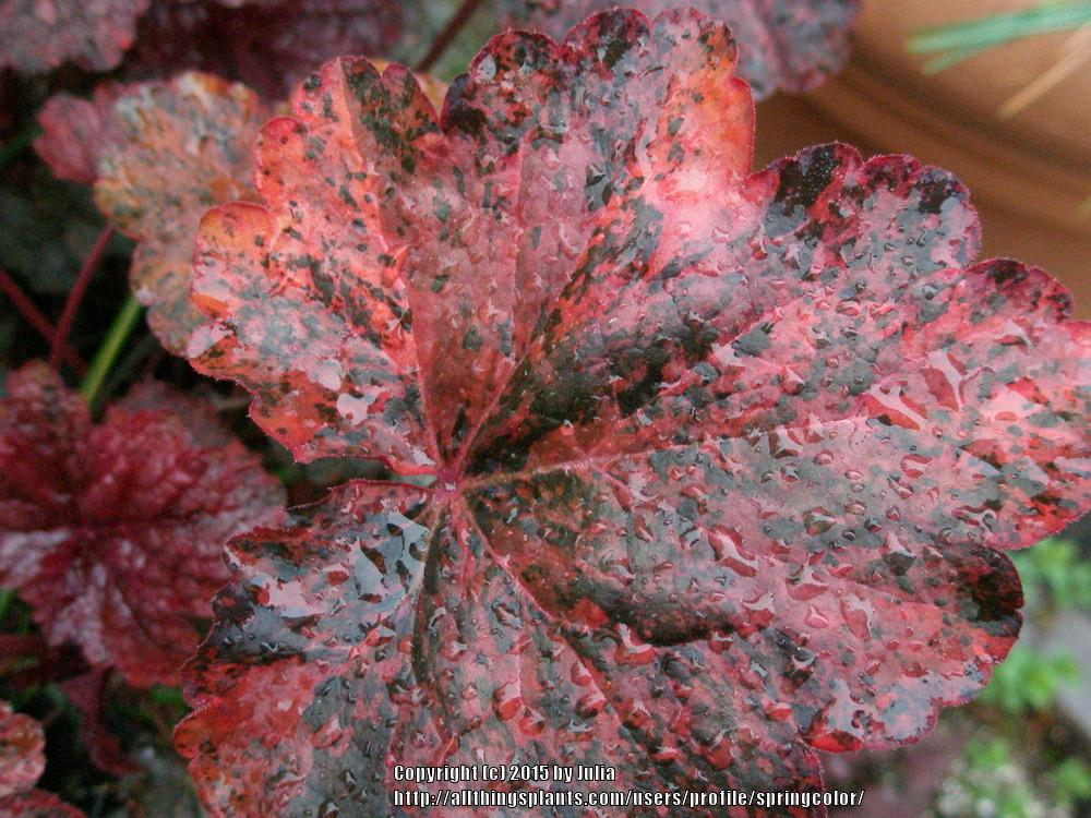 Photo of Coral Bells (Heuchera 'Mardi Gras') uploaded by springcolor
