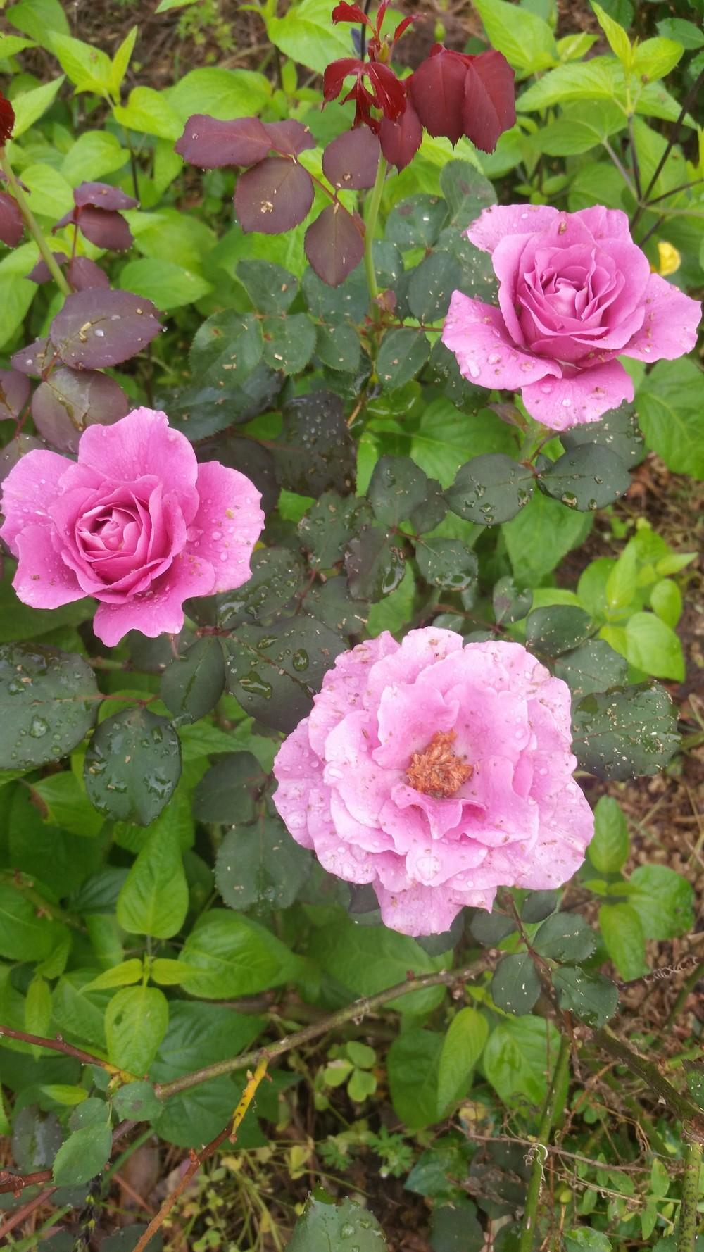 Photo of Rose (Rosa 'Angel Face') uploaded by value4dollars