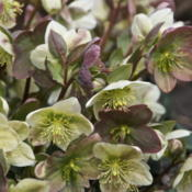 Location: Zone 5Date: 2015-04-14 Various bloom colorations of one Helleborus plant