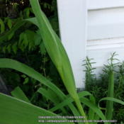Location: Plano, TXDate: 2015-04-15Louisiana iris flower stalk