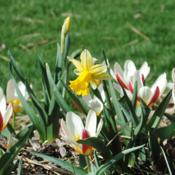 Location: My Northeastern Indiana Gardens - Zone 5bDate: 2015-04-15Shown with Tulipa 'The First'