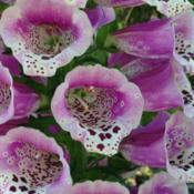 Location: Hamilton Square Perennial Garden, Historic City Cemetery, Sacramento CA.Date: 2015-04-13Unlike most Digitalis purpurea flowers that hang down those of th