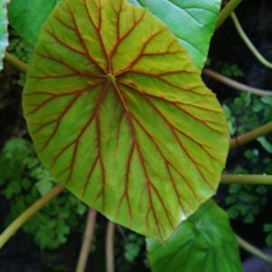 Fairchild gardens - young leaf has distinct red veining
