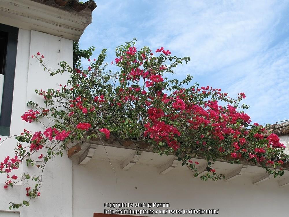 Photo of Bougainvilleas (Bougainvillea) uploaded by bonitin