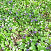 Location: central IllinoisDate: 2015-04-18Field of violets