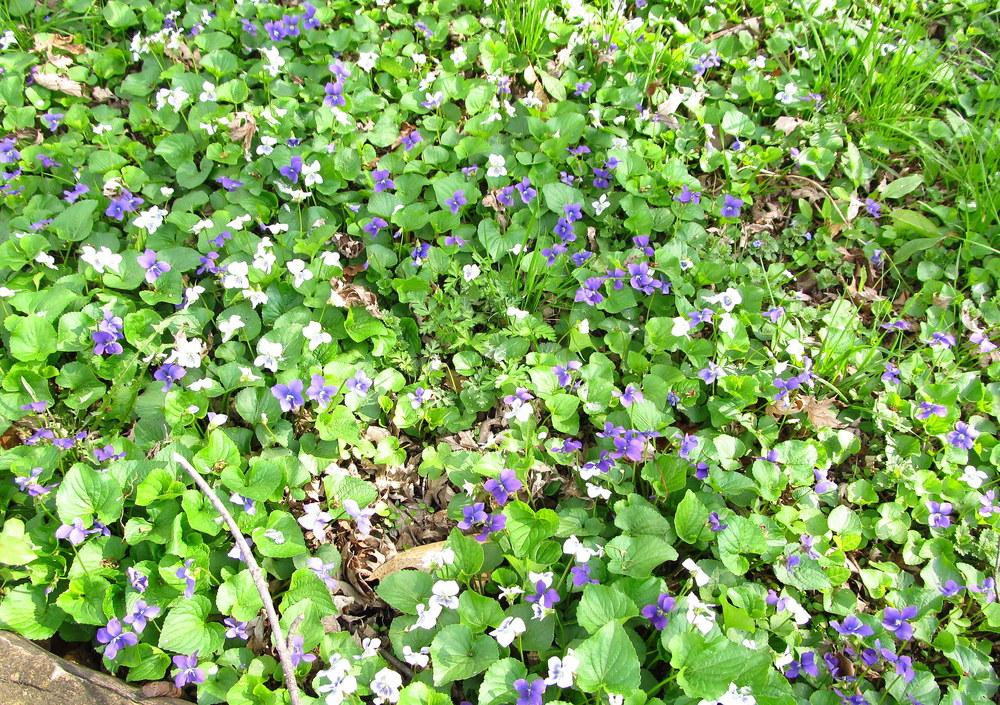Photo of the habitat view of Sweet Violet (Viola odorata) posted ...
