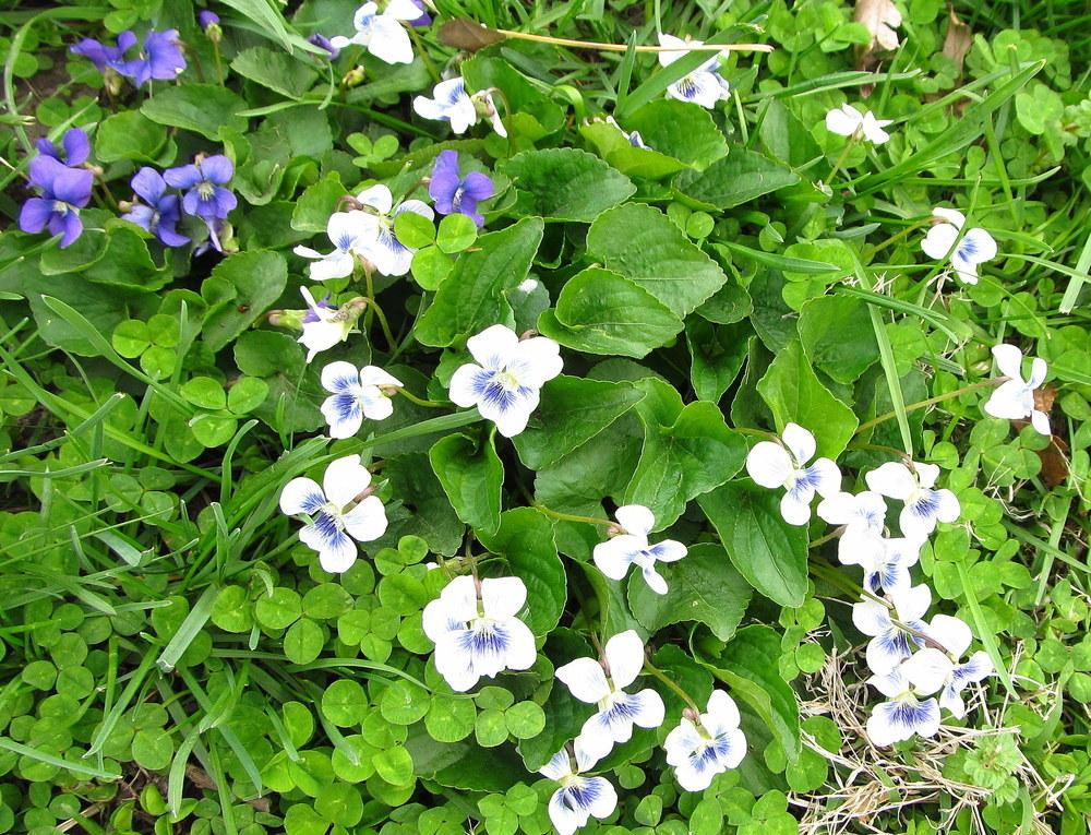 Photo of Sweet Violet (Viola odorata) uploaded by jmorth