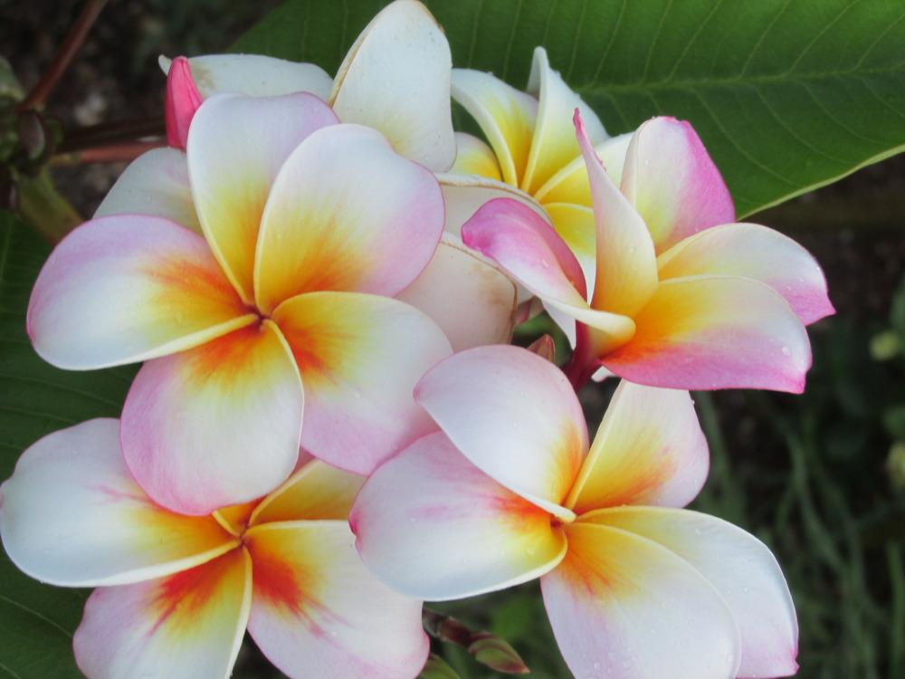 Plumerias plant care and collection of varieties garden add or edit informational text about this plant mightylinksfo