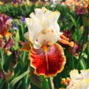 Location: Superstition Iris Gardens - Cathey's Valley, CADate: April 18, 2015