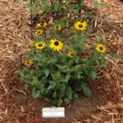 Location: southeast alabamaDate: 2015-04-19Early Bird Gold Rudbekia plant