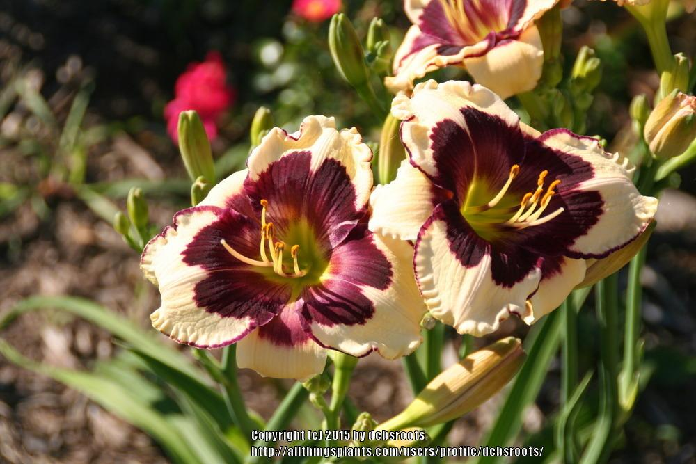 Photo of Daylily (Hemerocallis 'Celebration of Angels') uploaded by debsroots
